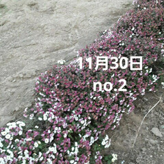 「出勤途中の畑に咲いてる  小さな菊、黄み…」(2枚目)
