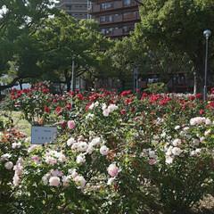 「薔薇公園の薔薇、  先日👀📷✨しました🌹」(4枚目)