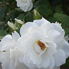 白い薔薇/先日/買い物帰りに/咲いていました おっはよう ございま~す☺  6月24日…(1枚目)
