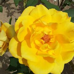 ヘンリーフォンダ/先日/薔薇公園/👀📷✨/薔薇 おはようございます☺  10月26日(月…