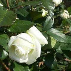 イマジン/薔薇/👀📷✨/薔薇公園 前回撮れなかった薔薇''イマジン''の …