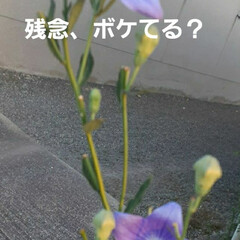 昨日/買い物帰りに 白い桔梗が目に止まりました❗  紫が好き…(3枚目)