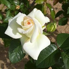 白い薔薇/薔薇公園/👀📷✨ おはようございます☺  10月21日(水…