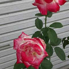 薔薇/👀📷✨/途中/買い物 見頃を逃したのが残念😞💨  少し変わった…