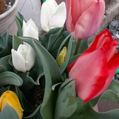 🎶咲いた、咲いた🌷の花が~🎶/先日/買い物に行く途中/👀📷✨ 1.300投稿目になりました。 いつも見…(2枚目)