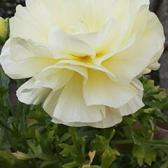 先日/買い物に行く途中/👀📷✨ ラナンキュラスが、こじんまりと 綺麗に咲…(2枚目)