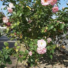 薔薇/👀📷✨/緑町公園/周辺 道路の花壇にて👀📷✨🌹  うっすらと汗を…(2枚目)