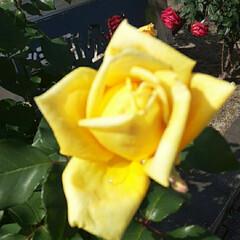 👀📷✨/緑町公園の/薔薇 薔薇にも色んな色がありますが、  黄色や…