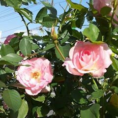 薔薇/👀📷✨/緑町公園/周辺 道路の花壇にて👀📷✨🌹  うっすらと汗を…(1枚目)