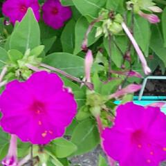 オシロイバナが/昨日/小学校のフェンス越しに/咲いていました おはようございます☀️🙋♀️❗  早く…(1枚目)
