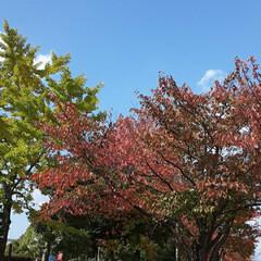 緑町公園/👀📷✨ 紅葉や、落ち葉さえ、絵になるようで  綺…(2枚目)