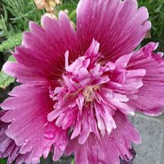 スプリングセレブリティーズ/先日/買い物帰りに咲いていました おっはよう ございま~す☺  6月20日…(1枚目)