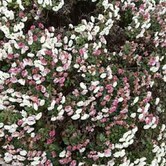 「出勤途中の畑に咲いてる  小さな菊、黄み…」(3枚目)
