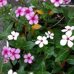 先日/近所に/咲いていました おっはよう ございま~す(#^.^#) …(1枚目)