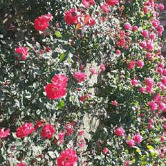 「薔薇公園の薔薇、  先日👀📷✨しました🌹」(1枚目)