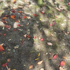 緑町公園/👀📷✨ 紅葉や、落ち葉さえ、絵になるようで  綺…(3枚目)