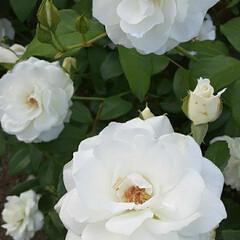 白い薔薇/先日/買い物帰りに/咲いていました おっはよう ございま~す☺  6月24日…(2枚目)