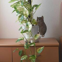 子猫のマイケルと/2~3倍に/成長/ポトス おはようございます☺  10月30日(金…