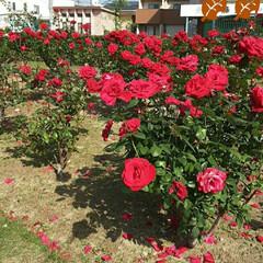 薔薇公園/👀📷✨/薔薇 おはようございます☺  11月16日(月…(2枚目)