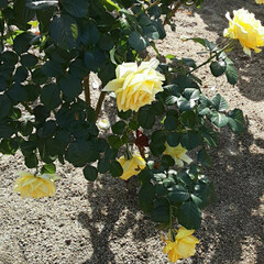 薔薇公園/👀📷✨/薔薇 おはようございます☺  11月17日(火…(2枚目)