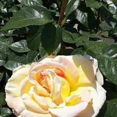 薔薇/休日に/病院近くで/👀📷✨ おはようございます☺  4月29日(木)…(1枚目)