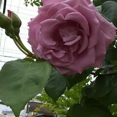 「私の好きな紫っぽい🌹の花です  先日、買…」(2枚目)