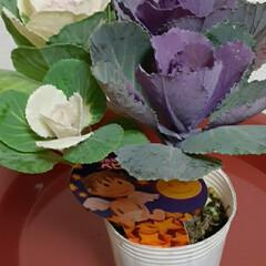 小さい葉牡丹/シクラメン2色/いつも👀📷✨している/お花屋さん/お買い物 シクラメン買ってきました🎵✌  簡単な寄…(2枚目)