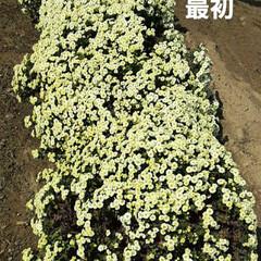 「出勤途中の畑に咲いてる  小さな菊、黄み…」(6枚目)