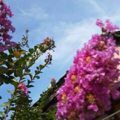 季節の花/👀📷✨/近所/花/空 サルスベリでしょうか。  高い所は、撮り…