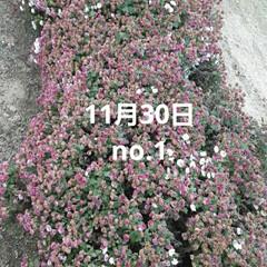 「出勤途中の畑に咲いてる  小さな菊、黄み…」(1枚目)