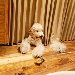 ふわふわ/モフモフ/ぬいぐるみ犬/可愛い/大型犬/スタンダードプードル/... お気に入りの場所💓