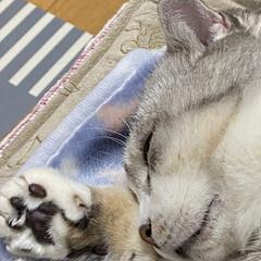 夢の中のハンター/スコテッシュ、癒される/猫達の冬の暮らし/バレンタイン2020 のんちゃんの爪 のんちゃん寝てますが😅 …