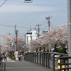 通院/桜🌸 通院の帰り🚲  桜が🌸とても綺麗🌸  今…(3枚目)