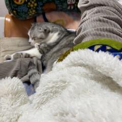 猫達の冬の暮らし/スコテッシュ、癒される/バレンタイン2020 のんちゃんとうたた寝😴😴 至福のとき❤️