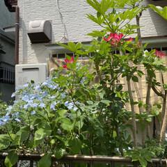 多肉ちゃんも花/薔薇/紫陽花 紫陽花❤️綺麗に咲いてます💦  葉っぱも…(4枚目)