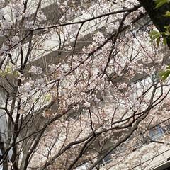 通院/桜🌸 通院の帰り🚲  桜が🌸とても綺麗🌸  今…(4枚目)