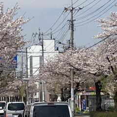 通院/桜🌸 通院の帰り🚲  桜が🌸とても綺麗🌸  今…(8枚目)