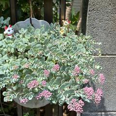 多肉ちゃんも花/薔薇/紫陽花 紫陽花❤️綺麗に咲いてます💦  葉っぱも…(3枚目)