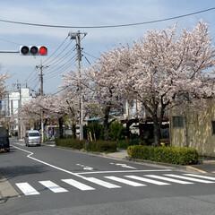 通院/桜🌸 通院の帰り🚲  桜が🌸とても綺麗🌸  今…(2枚目)