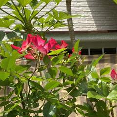 多肉ちゃんも花/薔薇/紫陽花 紫陽花❤️綺麗に咲いてます💦  葉っぱも…(2枚目)