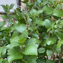縁起が良い植木/地植え/紫陽花 うちの紫陽花は?と🤨😳と心配になり🙀🤨 …