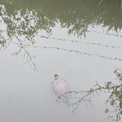 散歩/生態系/鯉/亀 自宅周辺を散歩🚶♀️葛西陽水には😳  …(2枚目)