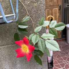 楽しみ❤️/開花宣言/薔薇🌹/花 今日、買い物行こうと玄関出ると😳❤️⤴️…