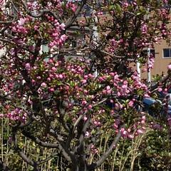 春 今日、通院の帰り🚲  花がとても美しくて…(2枚目)