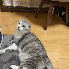 猫の冬の暮らし/朝恒例/スコティッシュ、癒される❤️ おはようさんでーす🙋♀️ 今日ものん君…