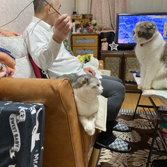 猫達との暮らし/スコティッシュフォールド 旦那に持たせてみました😅  じゃらし葉っ…