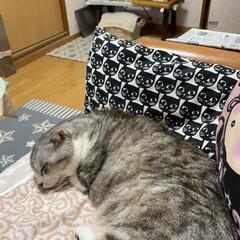 寝てまーす🐈/涼しくて🐈/スコティッシュフォールド のんちゃん❤️  相変わらず寝てまーす🙋…