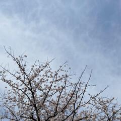通院/桜🌸 通院の帰り🚲  桜が🌸とても綺麗🌸  今…(1枚目)