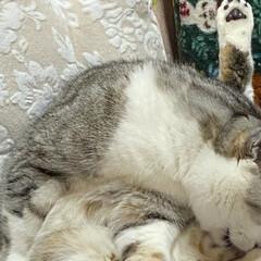 綺麗好き❤️/猫達の冬の暮らし/スコテッシュ、癒される/バレンタイン2020 のんちゃんは綺麗好き❤️ 朝、入念の毛繕…