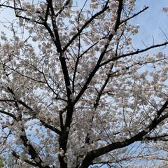 通院/桜🌸 通院の帰り🚲  桜が🌸とても綺麗🌸  今…(5枚目)